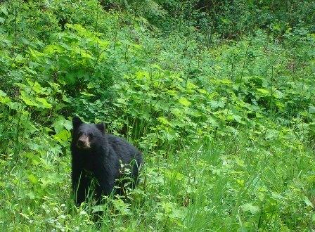 an American black bear in Canada