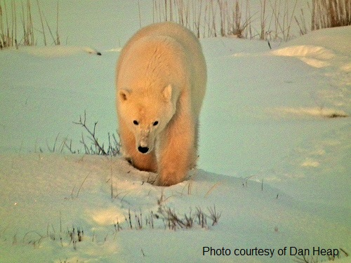 a polar bear captured on camera while on a polar bear watching tour