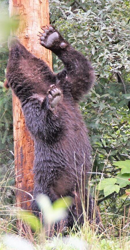 bear rubbing