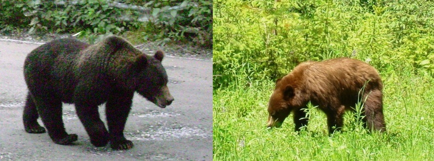 difference grizzly and black bear