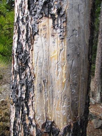 beetle-killed-pine