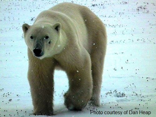 a polar bear around Churchill, Manitoba