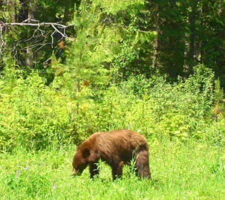 a cinnamon black bear