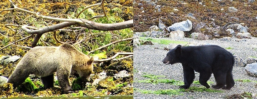 compare grizzly to black bear