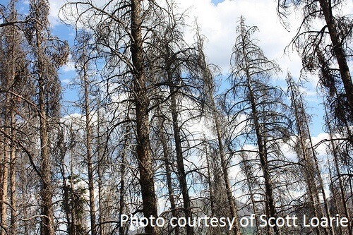 dead trees caused by the mountain pine beetle