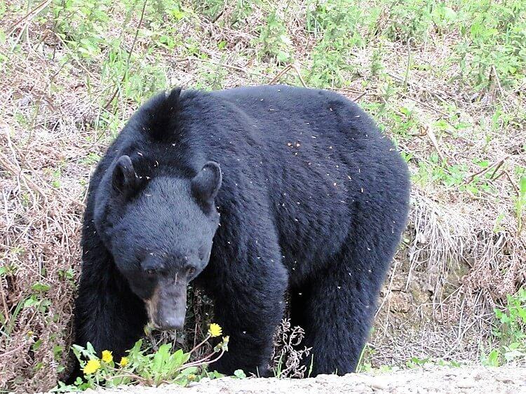 foraging black bear