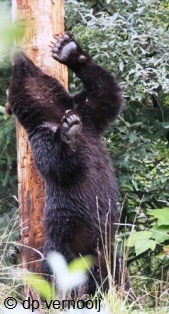 bear rubbing a tree