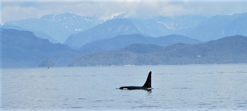 orca in British Columbia