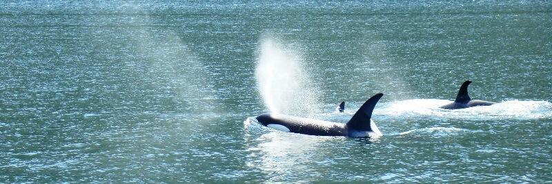 orcas Johnstone Strait