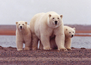 A polar bear sow with het two cubs
