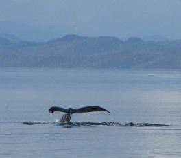 tail fluke humpback whale