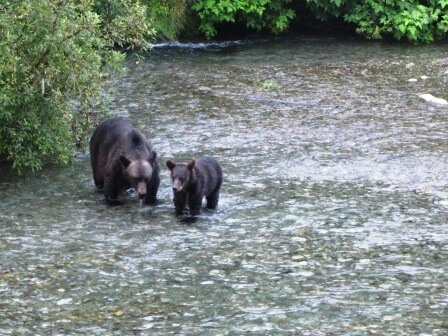 grizzly looking for salmon