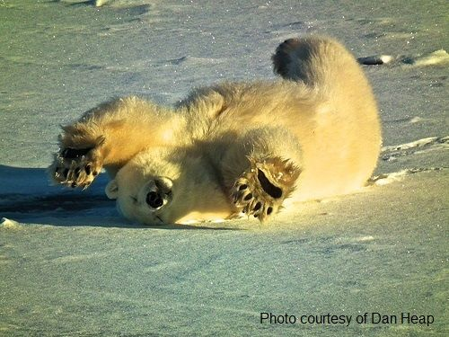 polar bears in Canada are the least abundant bear species
