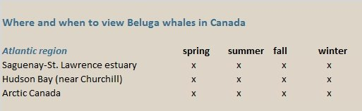 beluga whales canada